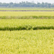 Green rice fields — Stock Photo