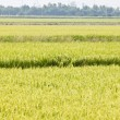 Stock Photo: Green rice fields