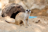Suricate or Meerkat sitting on the sand — Stock Photo