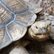 Stock Photo: Old Turtle