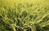 зеленые рисовые поля — Стоковое фото