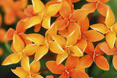 Close up photo of a bunch of ixora flower at full bloom — Stock Photo