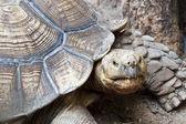 Old Turtle — Stock Photo