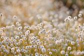 Kradumngen bloem — Stockfoto