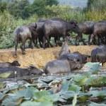 Thai buffalo in grass field near Bangkok, Thailand. — Stock Photo #32475953