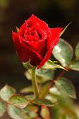 Rudá růže. — Stock fotografie