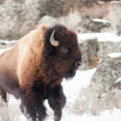 Bison — Stock Photo #19776067