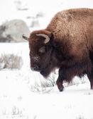 Bisontes — Foto de Stock