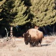 Bison — Stock Photo #25073663