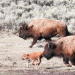 Bisons and Calf — Stock Photo
