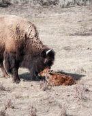 Nyfödda kalv — Stockfoto
