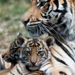 Tiger Cubs — Stock Photo #8283774