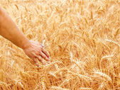 Male hand in gold wheat field — Stock Photo