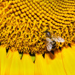 Closeup bee on a sunflower — Stock Photo