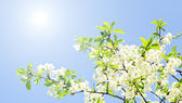 Apple blossoms and blue sky — Stok fotoğraf