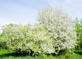 Apple blossom tree and blue sky — Stock Photo