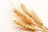 Uši pšenice izolovaných na bílém — Stock fotografie