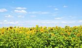 Beautiful sunflower field  — Stock Photo