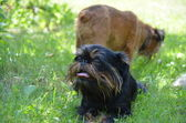Dog, Belgian Griffon, lies on the lawn. — Stock Photo
