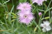 Flower garden pinks - 'Dianthus caryophyllus — Stock Photo