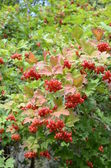 The red cranberry. Sometimes wild cranberry is highly adaptable in the garden — Stock Photo