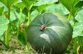 Ripening in the garden green pumpkin. — Stock Photo