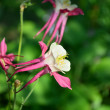 Catchment ordinary, or aquilegia. — Stock Photo