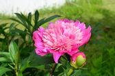 Peonía flores de color rosa — Foto de Stock