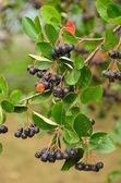 Chokeberry branch. — Stock Photo