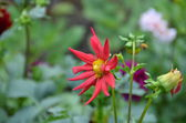 Red flower georginka - Dahlia — Stock Photo