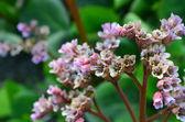 Flower Bergenia. — Stock Photo