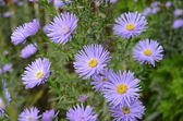 Flowers shrubby asters — Stock Photo