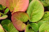 Bergenia leaves. — Stock Photo