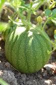 Precocious watermelon in the garden. — Stock Photo