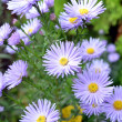 Foto de Stock  : Flowers shrubby asters