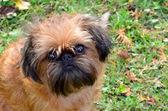 Hunden, bryssel griffon, hösten gräsmattan. — Stockfoto