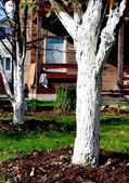 Whitewashing garden trees. — Stock Photo