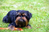 Belgian Griffon dog for a walk — Stock Photo