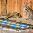 Two cats on threshold of old log house — Stock Photo #25082897