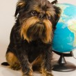 The Belgian griffon with the globe - Stock Photo