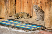 Two cats on a threshold of an old log house — Stock Photo