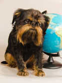 The Belgian griffon with the globe — Stock Photo