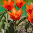 Royalty-Free Stock Photo: Orange tulips on a bed