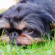 Royalty-Free Stock Photo: Sight of a dog lying on a lawn