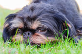 Sight of a dog lying on a lawn — Stock Photo