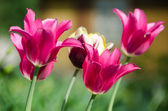 Group of pink tulips in a garden — Stock Photo