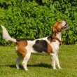 Stock Photo: English beagle - breed of hunting hounds of dogs