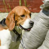 English beagle - breed of the hunting hounds of dogs — Stock Photo