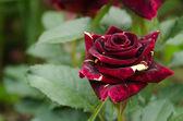 Rose of a grade Abracadabra — Stock Photo