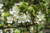 Flowering apple — Stock Photo